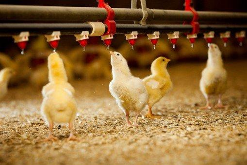 Ứng dụng RFID trong chăn nuôi gà